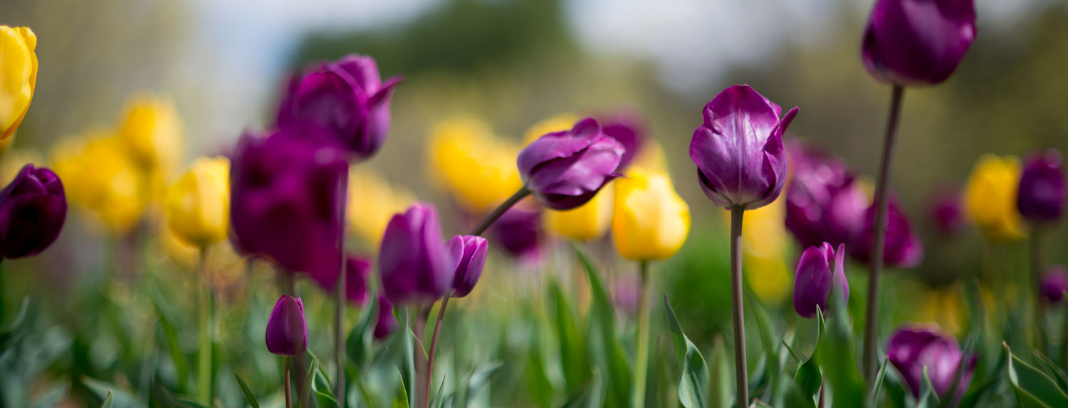 purple and yellow spring tulips in bloom